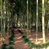 竹林の中のケヤキ