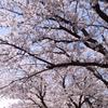 入学式には桜が似合う