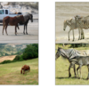 PyTorch (15) CycleGAN (horse2zebra)