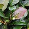お茶の木の葉っぱが変色したら裏面をチェック!