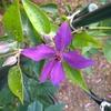 クレマチス2番花 続々と咲く