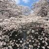 【目黒川】中目黒の桜 開花状況【2017年4月6日】