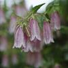 お花.      Campanula punctata.jpg