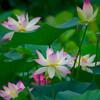 はすまつり開催中の福井県南越前町花はす公園