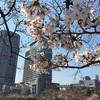 桜、そろそろ見頃です。