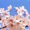 お花見といえば桜!桜といえば染井吉野!なぜ染井吉野はこんなに有名で愛されているのでしょうか?