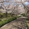 お散歩と桜