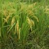 ひとつ目の不耕起田んぼの野生苗は稲穂38本です!来年の種籾候補ですね♪(田植え後14週目、出穂後4週目)
