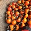 干し柿をカビさせない方法について