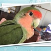 伝書鳥 ♪