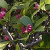 沈丁花のつぼみ ジンチョウゲ Daphne odora