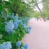 メランコリックな静かな雨の日は梅雨が好きでなくてもそれなりに楽しみたい〜夙川の紫陽花