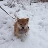 柴犬チャー、初めての雪に大興奮!!えっ??ショー先輩も??