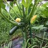 家庭菜園日記 ズッキーニを栽培しよう!