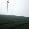 今シーズン一番濃い霧に包まれる茶畑