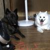 甲斐犬サン、やはり牛タンジャーキーは美味かった、の巻〜モジ(((´ω` *)(* ´ω`)))モジ。