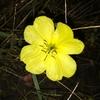 マツヨイグサの花言葉とは?マツヨイグサを英語で 何という?