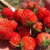 【イチゴ】赤い部分は果実じゃないって本当?〜実はつぶつぶが本体だった!?〜