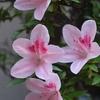 ベランダガーディニング「サツキが咲きました」