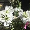 純白のきれいな花✨