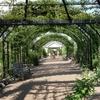 ミモザ・ガーデンの日記ーバラのパーゴラ