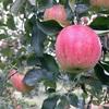 小布施・小林農園でリンゴ狩り、園内では食べ放題