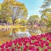 東京が誇る春のチューリップガーデン