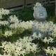 白い彼岸花「香林寺」