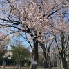 札幌 円山公園 桜🌸撮影に行って来ました 4月26日(月)2021