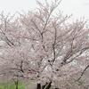 曇り空に桜はずっと見ていられる。