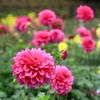 町田ダリア園の開園は11月3日まで!!東京・神奈川でダリアを観るならここ♪