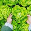 【レシピあり】キャベツの栄養素知ってる?野菜の知識をつけて健康になろう!