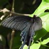黒いアゲハチョウたち