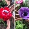 """アネモネ ギリシャ神話に登場する花たちの中でも特に有名なものの一つ.一説では,新約聖書「山上の訓戒」でイエスが語る""""野の花(またはユリ)""""は,アネモネではないかとも言われています."""