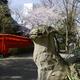 狛犬と桜「春日神社」