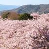 【写真】桜~八百萬神之御殿~