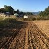 ラボ3畑にライ麦播種 (おまけスペルト小麦の成長)