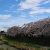 残堀川の満開の桜とアオゲラ
