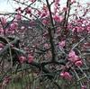 越生に梅を見に行きつつ、あじさい街道を登るサイクリング