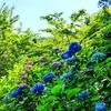 京都ぶらり 2021紫陽花の季節 智積院
