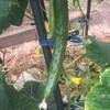 6月27日の家庭菜園「病気?ズッキーニの色が!」