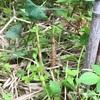 竹の子 黒竹