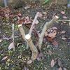 ブルベリー接ぎ木