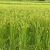 2021年稲の出穂。