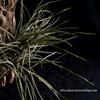 【Tillandsia bandensis】開花準備