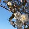 春ですねー。でもあしたからまた雨ですねー(´-ω-。` )