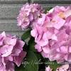 【庭】紫陽花、その後
