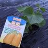 モミガラで雑草防止
