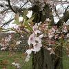 桜時雨(サクラしぐれ)