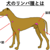 『犬のリンパ腫①』統計、原因、分類について